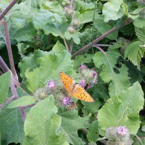 28-11-1 papillon des montagnes